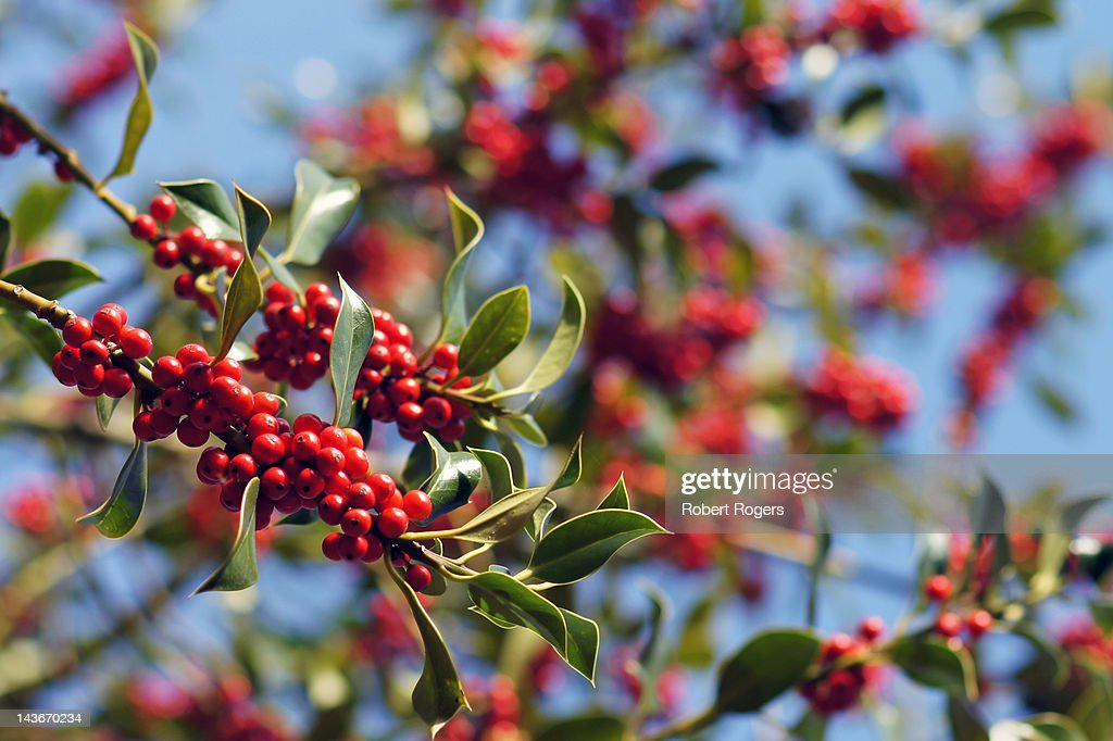Red holly berries in ancient English woodland : Photo