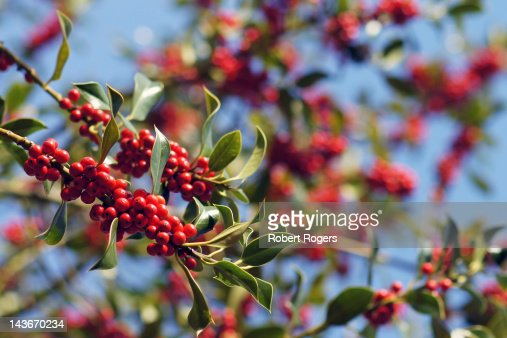 Red holly berries in ancient English woodland : Stock Photo