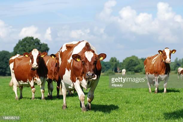 Rote und weiße verbesserte Rind