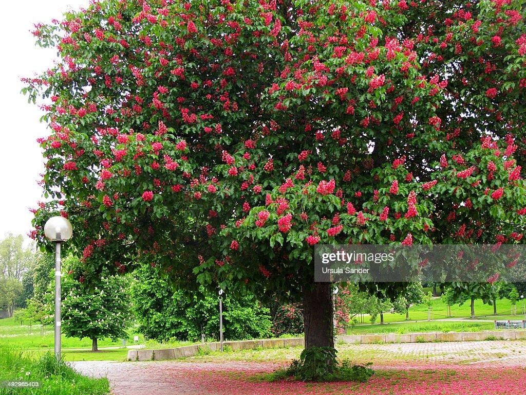 Red Horse Chestnut (Aesculus x carnea Hayne)