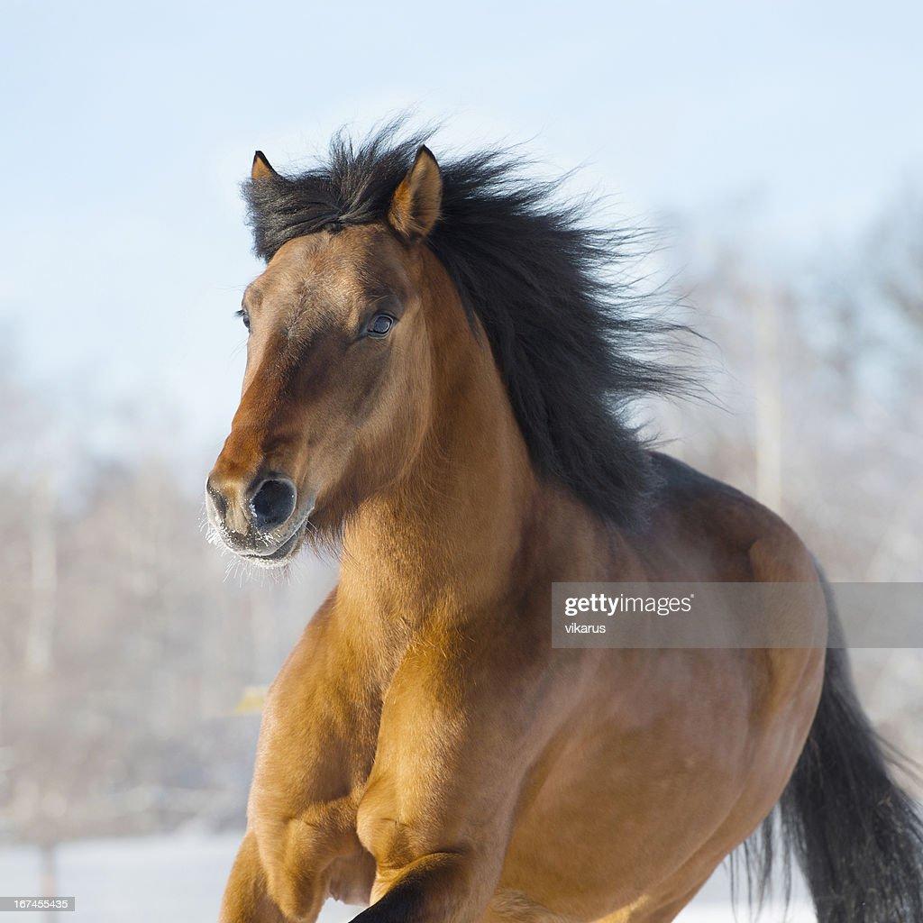 Red horse runs gallop in winter : Stock Photo