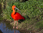 Close-up of a scarlet Ibis (XL)