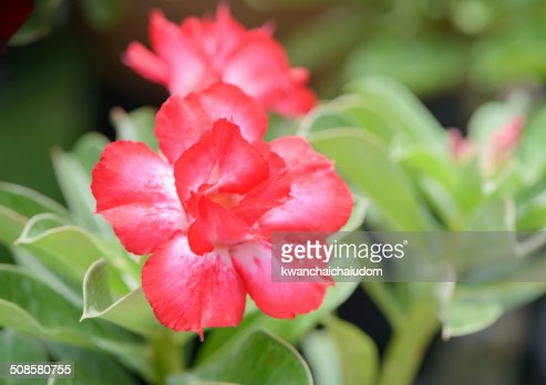 red Impala Lily flower : Stockfoto