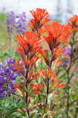 Red Indian Paintbrush Wildflowers Blooming Along Columbia River Gorge in Springtime Closeup Macro