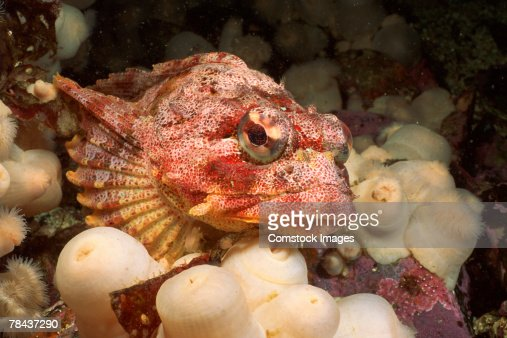 Red irish lord fish stock photos and pictures getty images for Irish lord fish
