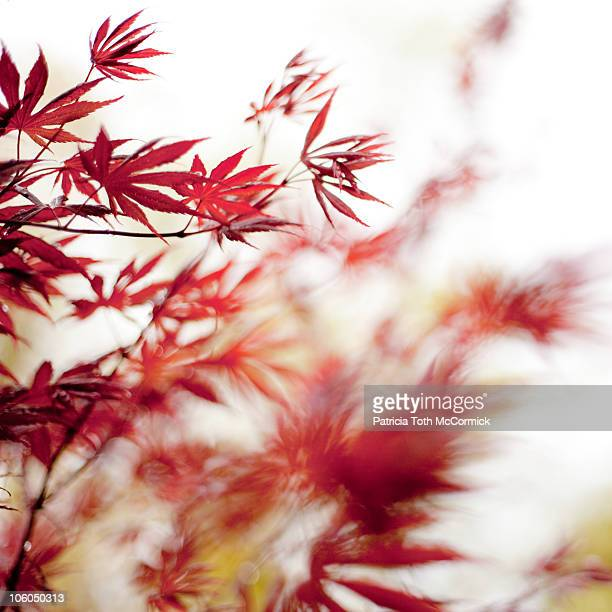 Red Japanese Maple in the Breeze