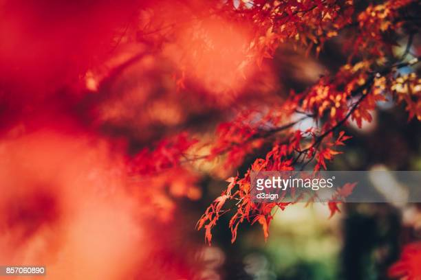 Red Japanese maple leaves in natural park