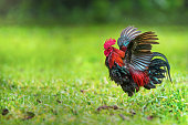 Red junglefowl fans his wings flamboyantly to display feather size and coloration to attract female attention.