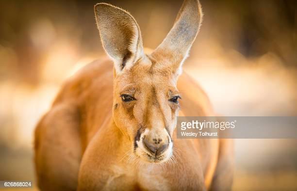Red Kangaroo Australia