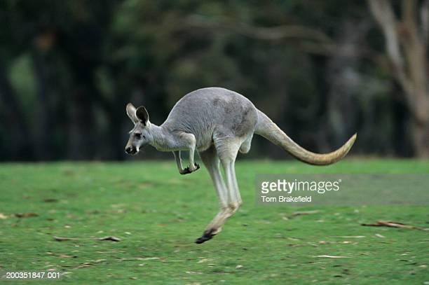 Red kangaroo (Macropus rufus) hopping