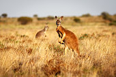 A red kangaroo standing in grasslands in the Flinders Ranges National Park in the Australian Outback