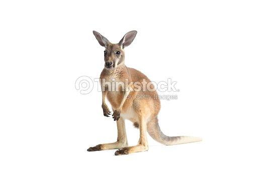 Red Kangaroo on White : Stock Photo