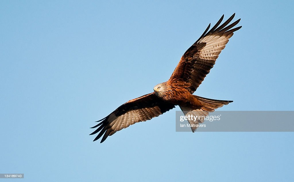 Red kite bird : Stock Photo