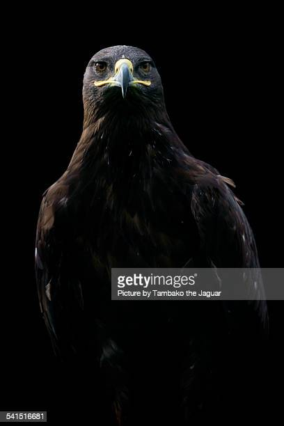 Red kite in the darkness