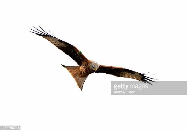 Red Kite (Milvus-milvus)