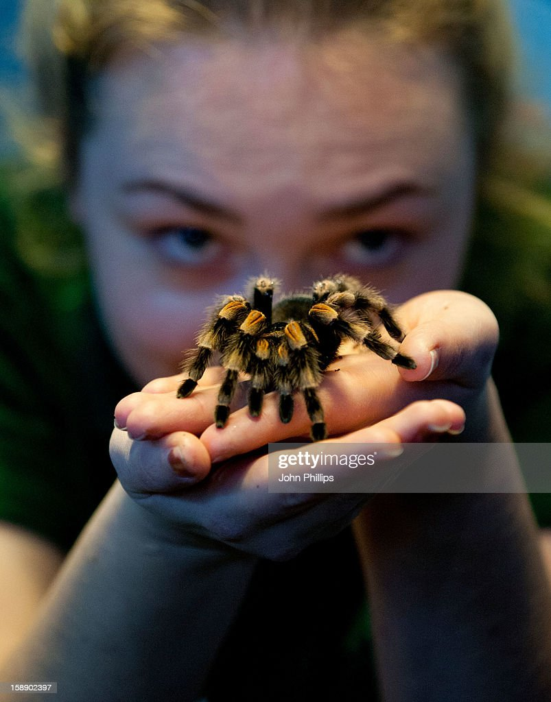 A Red Kneed Spider is held during London Zoo's annual stocktake of animals on January 3, 2013 in London, England. The zoo's stocktake takes place annually, and gives keepers a chance to check on the numbers of every one of the animals from stick insects and frogs to tigers and camels.