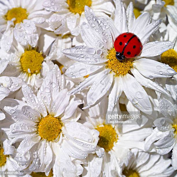 Red ladybird atop of wild daisies