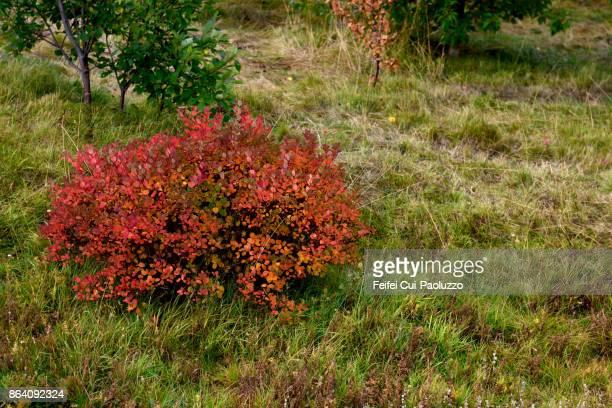 Red leaf at Borg á Mýrum, Borgarnes, West Iceland