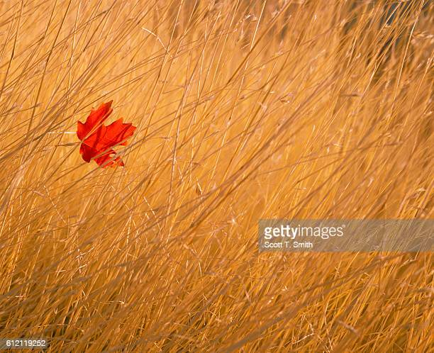 Red Leaf Caught in Grass
