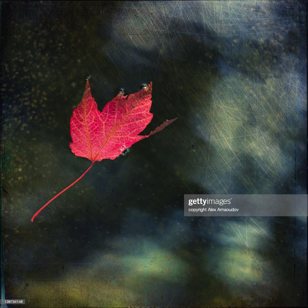Red leaf floating in calm water : Stock Photo