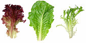 Red leaf lettuce, romaine and endive