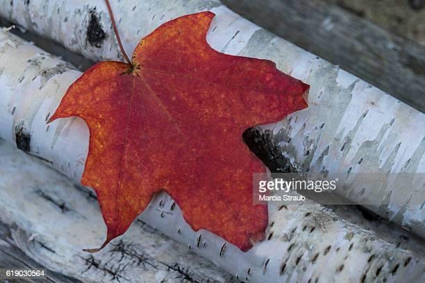 Red Leaf on Birch Logs
