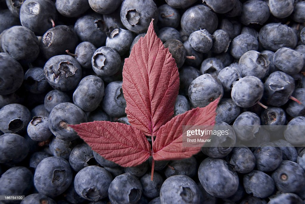 Red Leaf on Blueberries (Americana) : Stock Photo