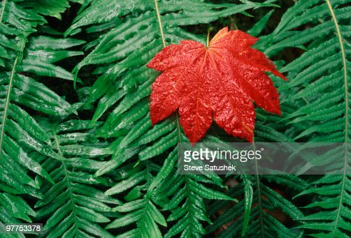 Red leaf on ferns stock photo getty images for Where the red fern grows coloring pages
