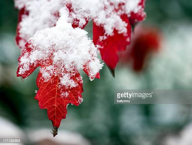Foglie rosse e neve