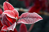 red leaves cought by frost