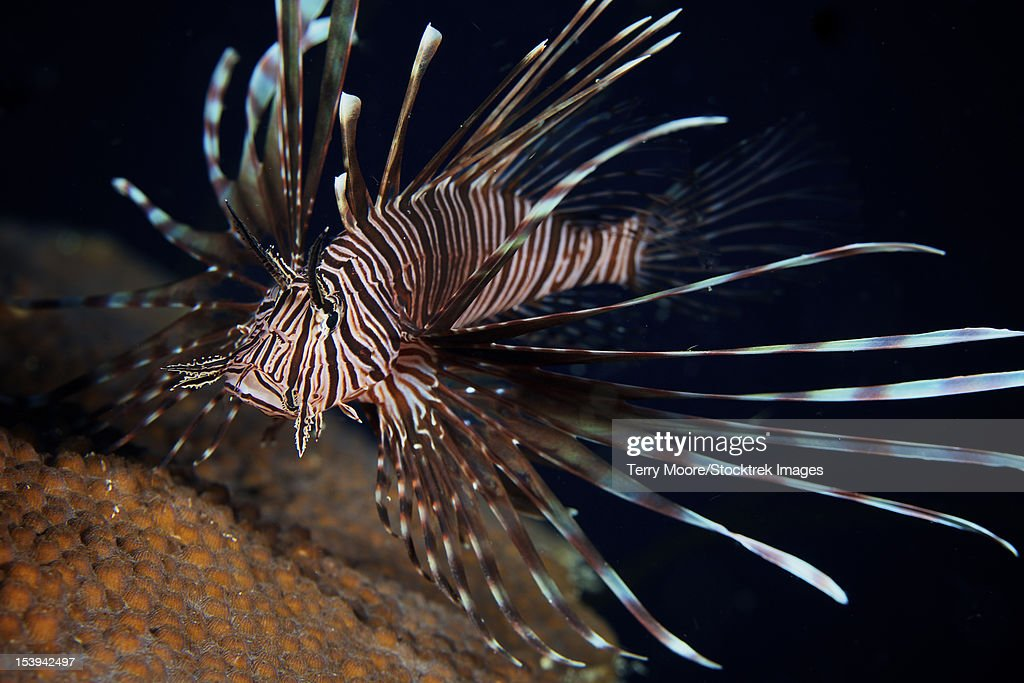 Red Lionfish flares its deadly spines as a warning to the photographer not to get any closer, Bonaire, Caribbean Netherlands.