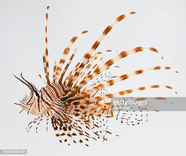 Red lionfish (Pterois volitans)