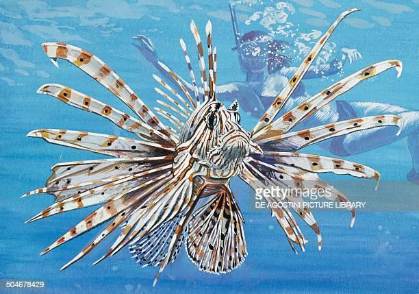 Red Lionfish Scorpaenidae drawing
