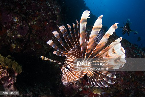 Red Lionfish (Pterois volitans) swims in a reef