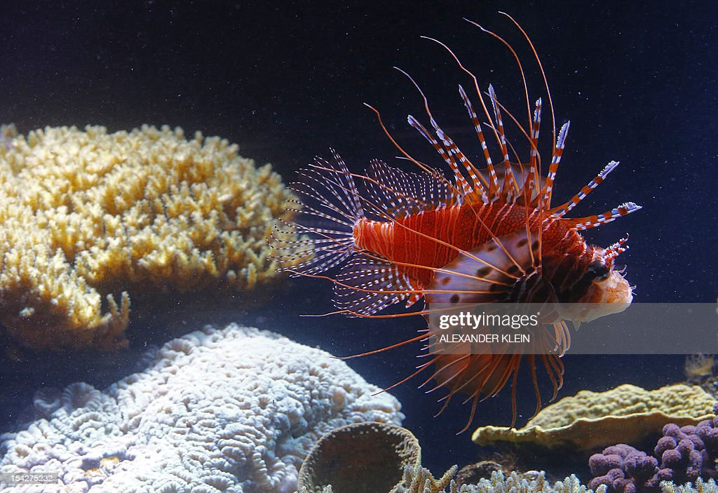 A red lionfish swims in the aquarium of the Schonbrunn zoo in the gardens of the Schoenbrunn Palace in Vienna on October 16 2012 The red lionfish is...