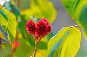 A red flowering tree with green leaves is aka Bixa orelleana, more commonly 'The Lipstick Tree.' The selective focus is on the red 'tentacles' which have multiple uses in medicine and agriculture.