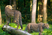 Red list animal - cheetah or cheeta, fastest land animal, large felid of the subfamily Felinae walking on the grass
