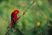 Red lory (Eos bornea) sitting on branch, preening feathers, Moluccas, close-up