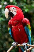 Close-up of bright red macaw parrot. Selective focus. Adobe RGB.