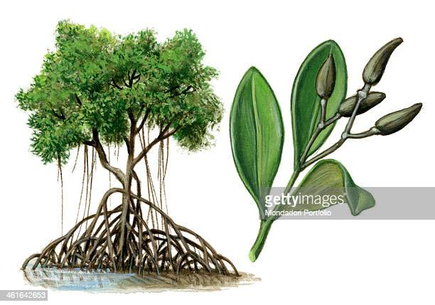 Red mangrove by Giglioli E 20th Century ink and watercolour on paper Whole artwork view Drawing of the plant with fruits and leafs