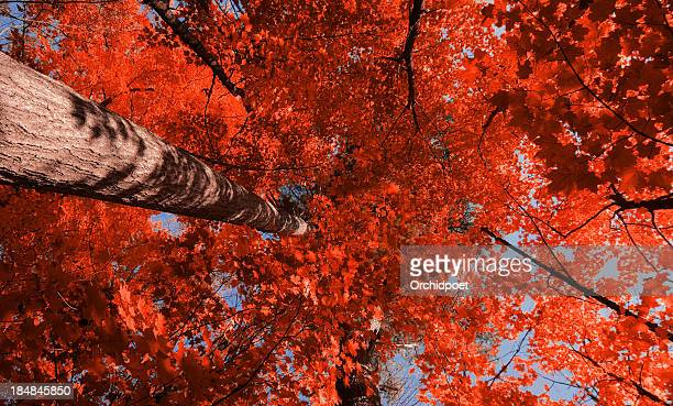 Red Maple Forest