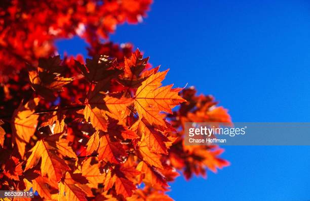 Red Maple leaf and Sky