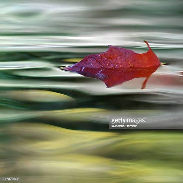 Red Maple leaf floating