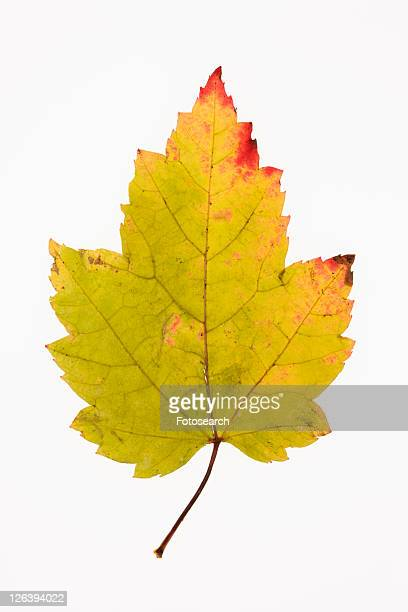 Red Maple leaf in Fall color against white background.