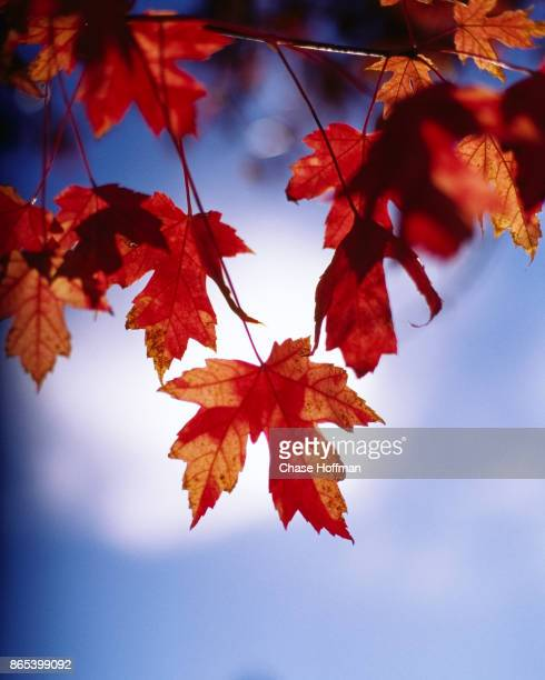 Red Maple leaf in front of the Sun