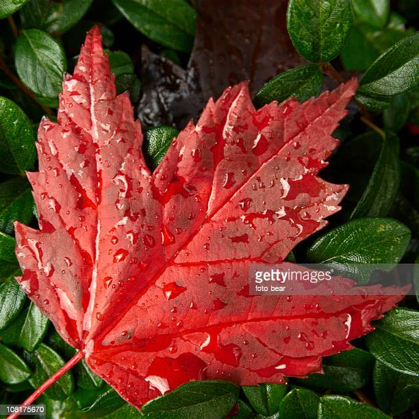 Red Maple Leaf with Raindrops on It