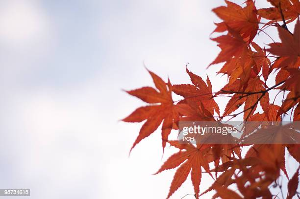 Red maple leaves against sky