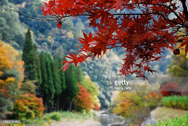 Red maple leaves and beautiful fall foliage