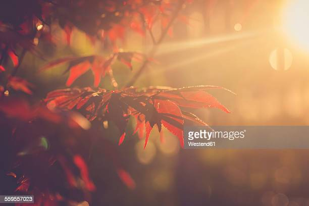 Red maple leaves at evening sunlight