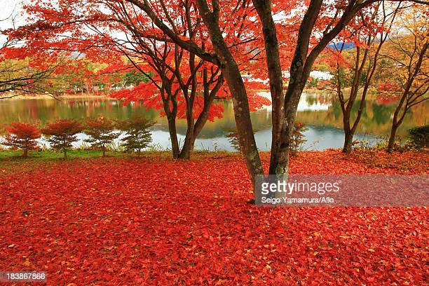 Red maple leaves on the ground at Lake Tateshina, Nagano Prefecture